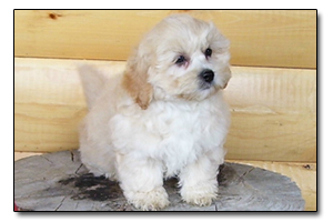 Puppies for Sale in Ontario