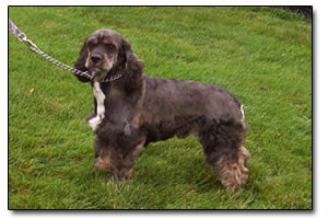 Brown Fur Shih Tzu Poodle Mix in Grass