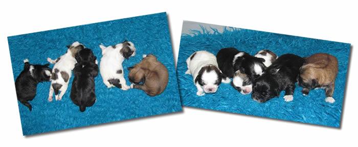 Shih-Poos Newborn Puppies Sleeping