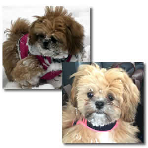 Shih-Poo Puppies in Ontario