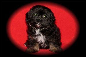 Black & tan shih-poo puppy