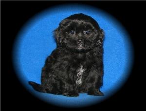 Black  Shih-Poo