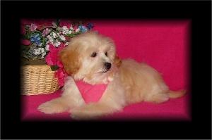 Blonde Shih-Poo