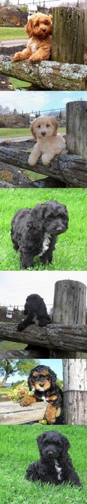 Cockapoo Puppies & Poodle Mixes for Sale in Ontario