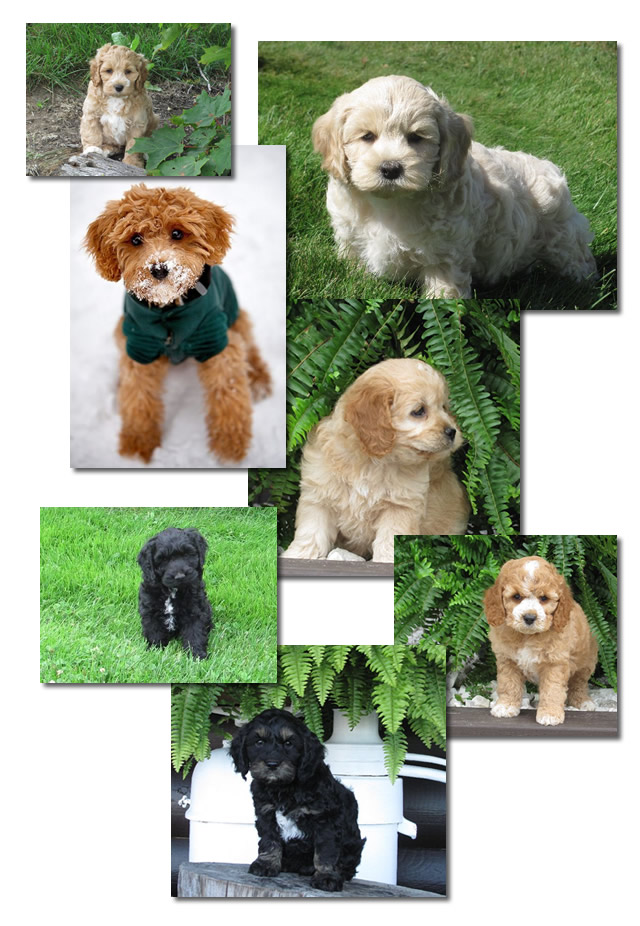 Cockapoo puppies in various colours