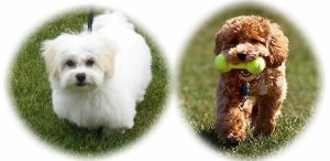 White and Brown Colored Poodle Mixes Running in Grass