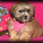 Sable Shih-Poo puppy