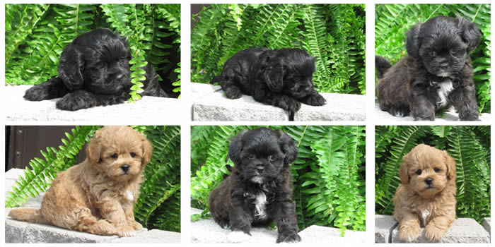 shih poo breeders  u0026 puppies for sale in ontario
