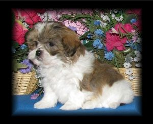 Tri-Coloured Shih-Poo puppy