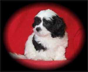 Black & white shih-poo puppy