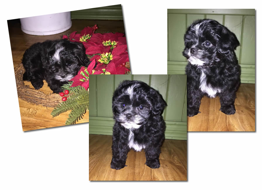 Collage of Black Shih Poo Puppy