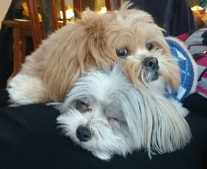 Gray and Brown Shih-Poo's Sleeping on Each Other