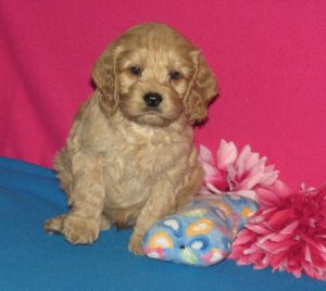Cockapoo puppy for sale in Ontario
