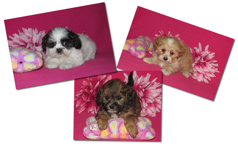 Shih Poo Breeders & Puppies for Sale in Ontario | Perfect Puppies