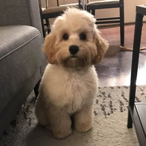 Cockapoo & Shih-Poo Puppies for Adoption in Ontario